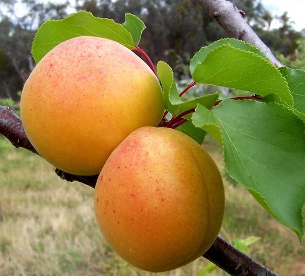 спелые плоды абрикоса