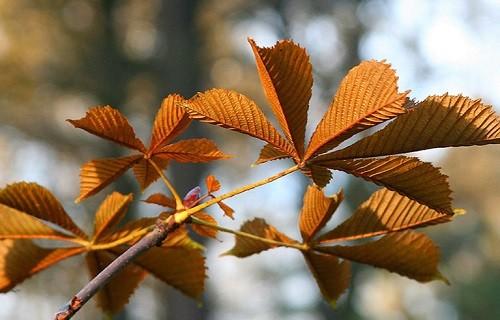 осенний каштановый лист