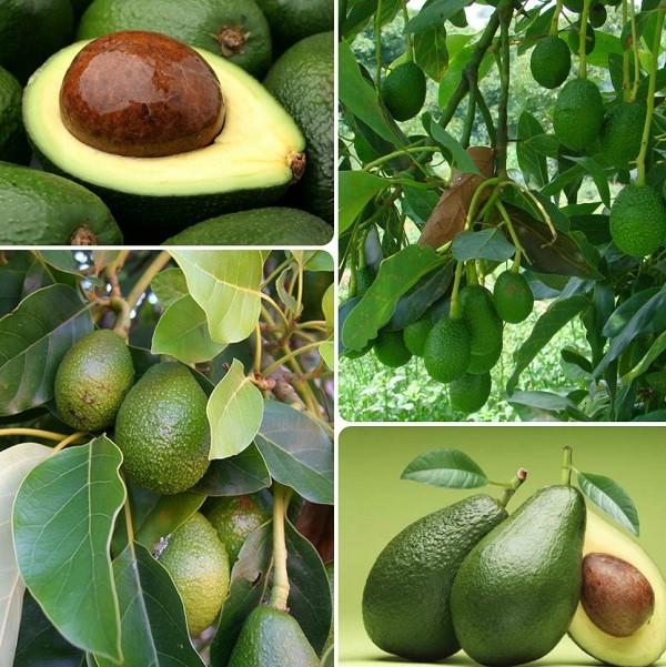 описание авокадо