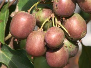 плоды растения актинидия