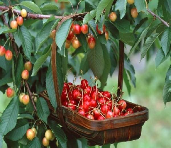 сбор плодов актинидии
