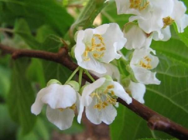 цветущая актинидия