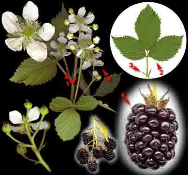 растение ежевика сизая