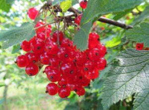 полезные ягоды красной смородины