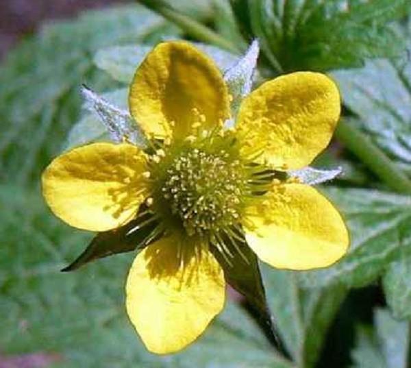 цветок гравилата городского