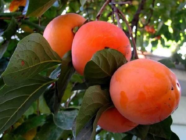 созревшие плоды хурмы