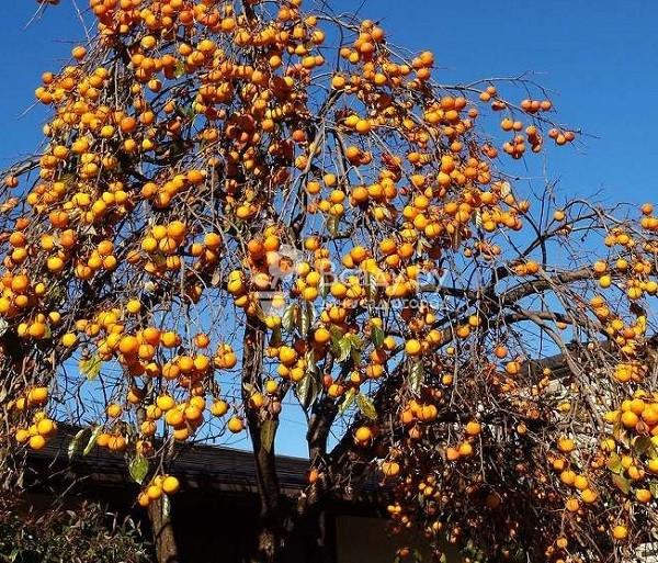 дерево хурма