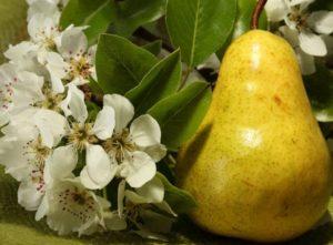 плоды груши домашней