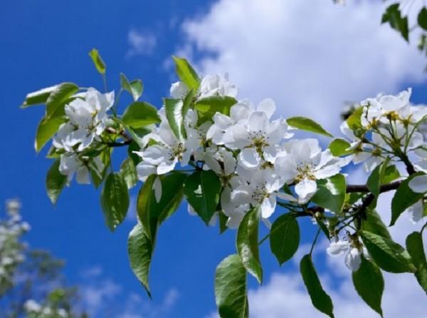 цветущая груша