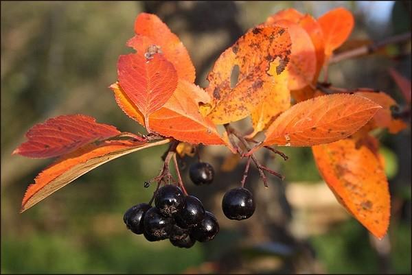 плоды рябины черноплодной осенью