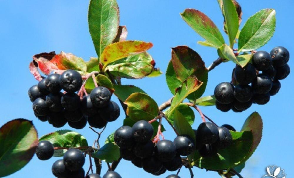 ягоды аронии рябины черноплодной