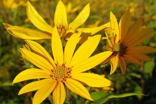 желтые цветки топинамбура