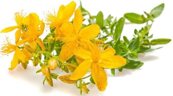 цветок лекарственного зверобоя