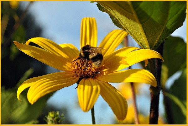 цветок растения топинамбур