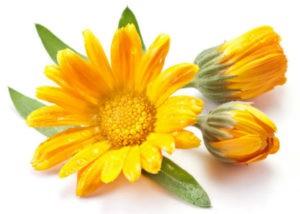 цветок календула для желудка