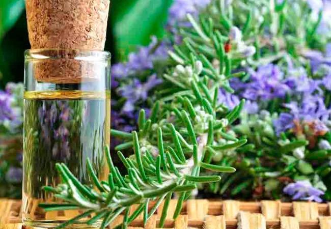 растение розмарин для кожи