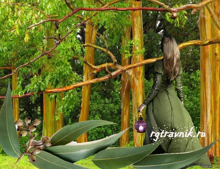 листья эвкалипта от цистита
