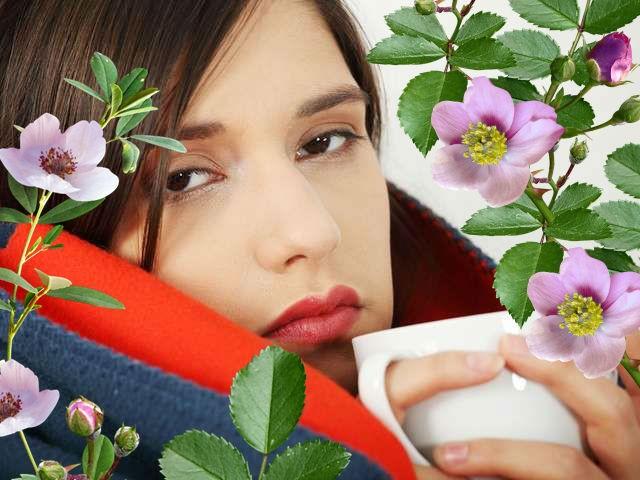 шиповник как лечебное средство при простуде