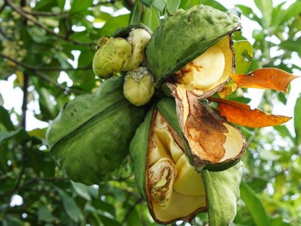как растет орех кола