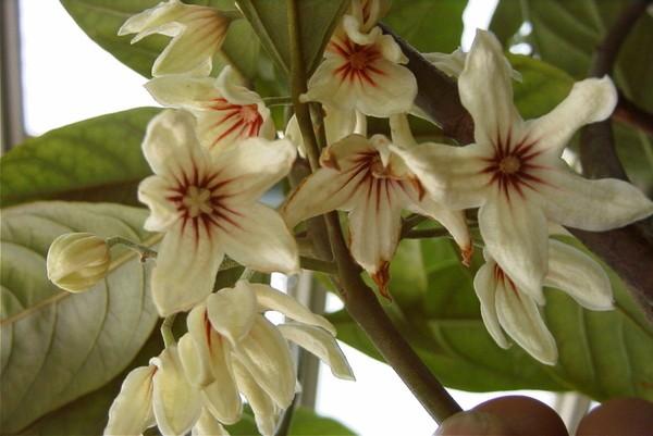 цветущий орех кола