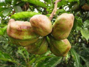 как растут орехи кола