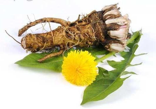 корни и цветки одуванчика