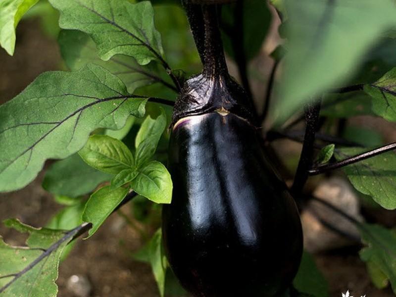 овощное растение баклажан