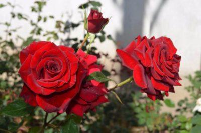 л лекарственное растение роза