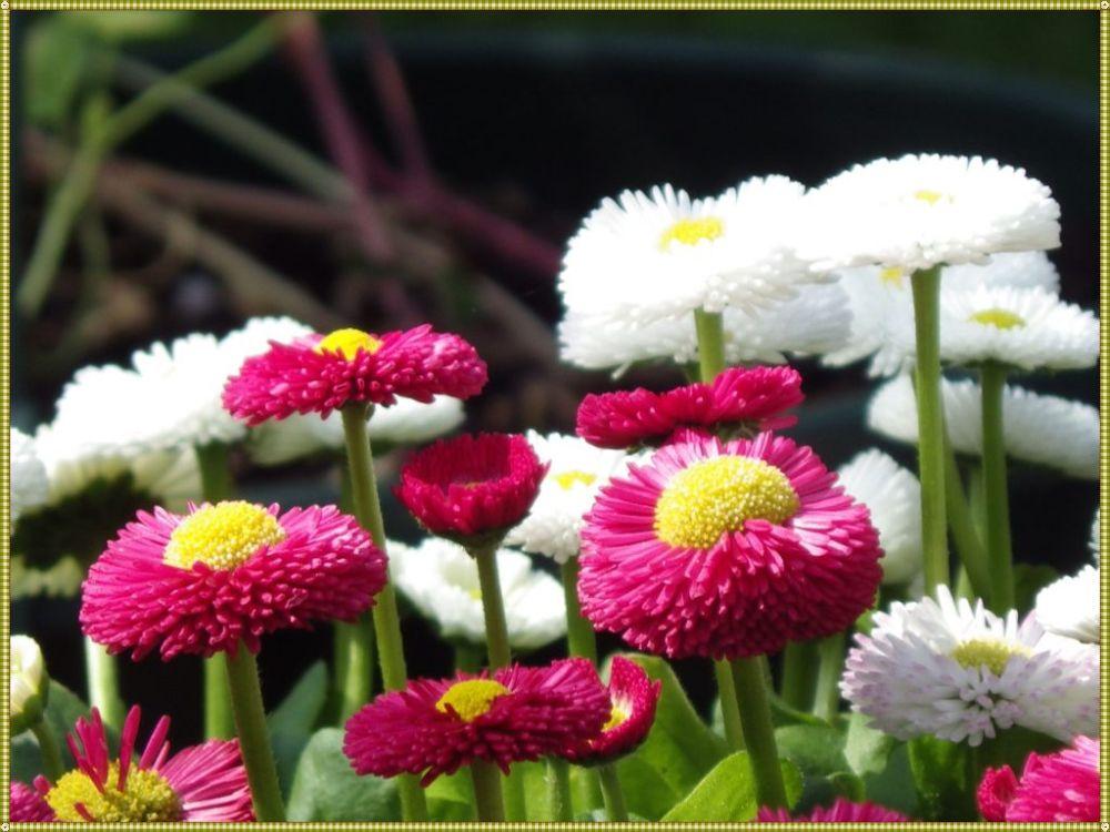 как цветет маргаритка