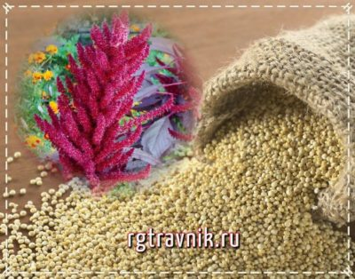 метелки и семена амаранта