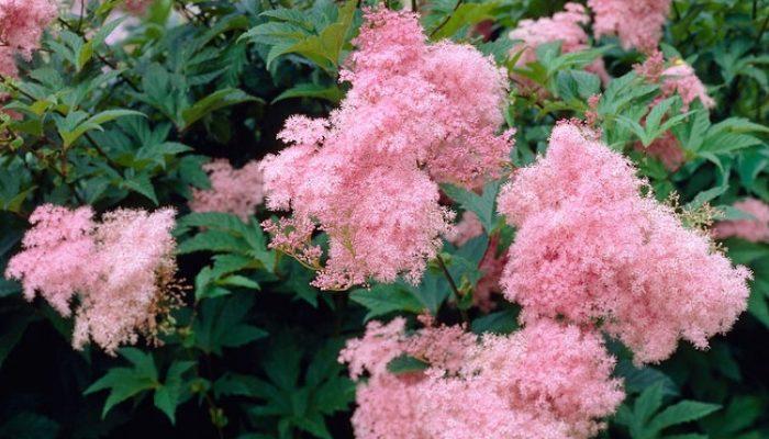 розовый лабазник