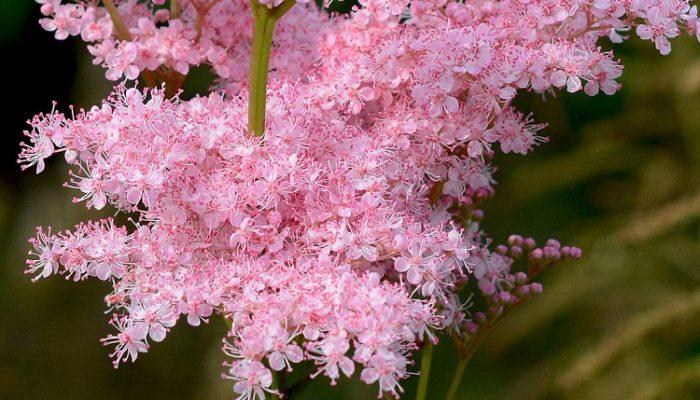 как цветет лабазник