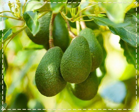 лечение волос авокадо