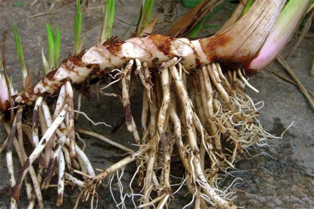 польза корней аира для желудка