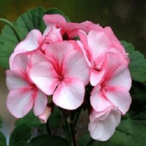 цветущая герань