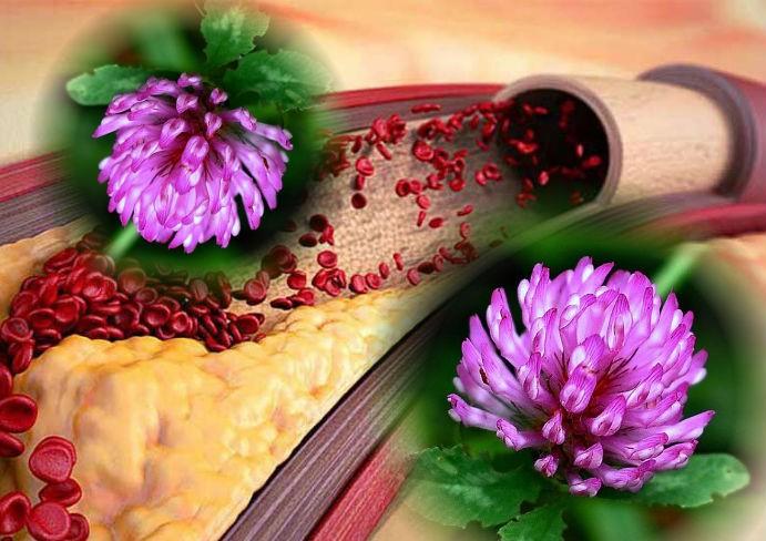 польза цветков клевера при атеросклерозе