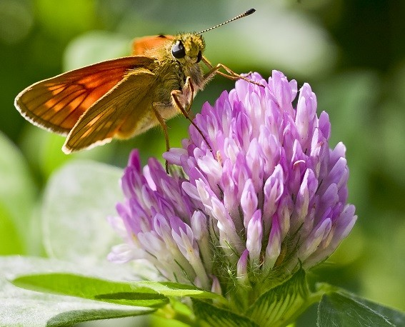 цветки клевера от атеросклероза