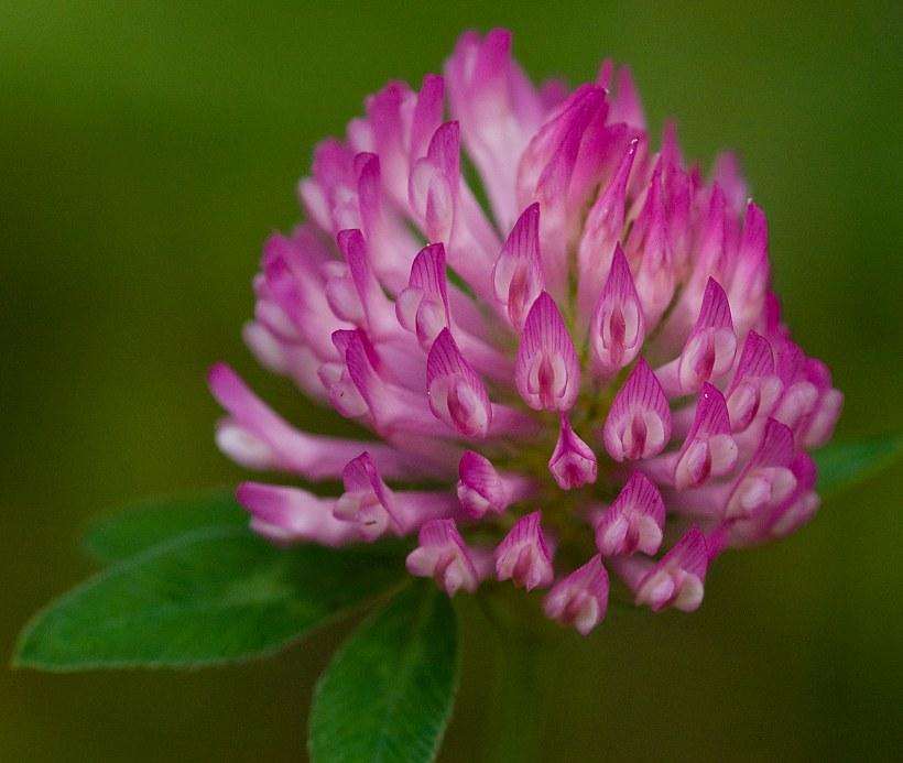 цветок клевера для сосудов
