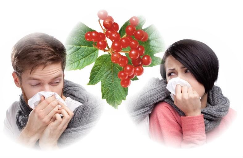 лечения простуды плодами калины