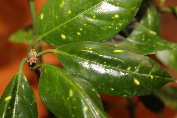 зеленые листья аукубы