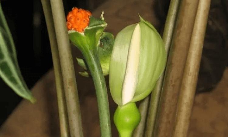 Цветок и ягоды алоказии