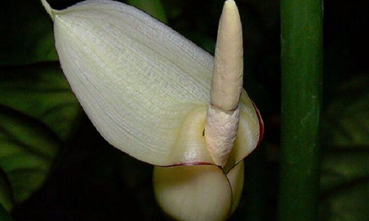 цветок алоказии