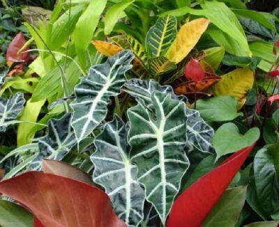 листья алоказии