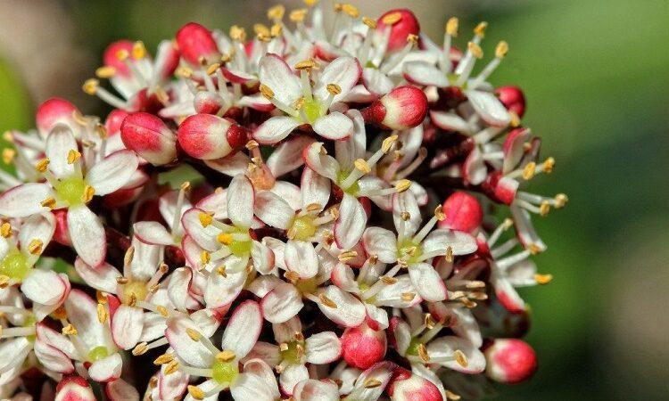 цветущая аукуба