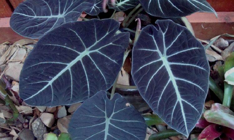 Алоказия Черный вельвет