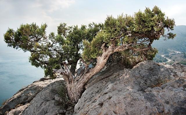 дерево можжевельник
