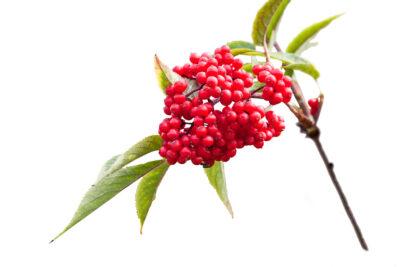 ягоды бузины красной