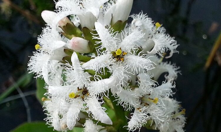 цветок вахты трехлистной