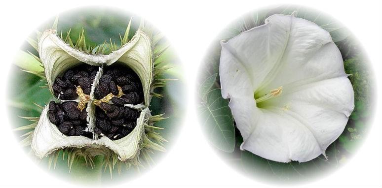 цветок дурмана обыкновенного