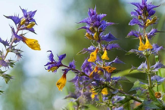 цветущий марьянник
